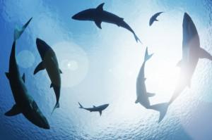 shark-BB